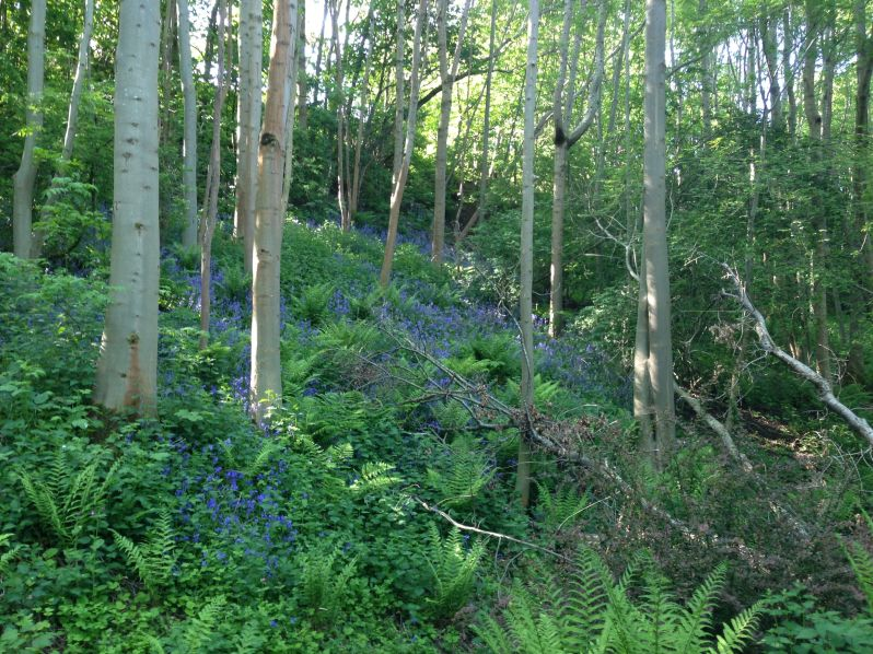 the elusive bluebells