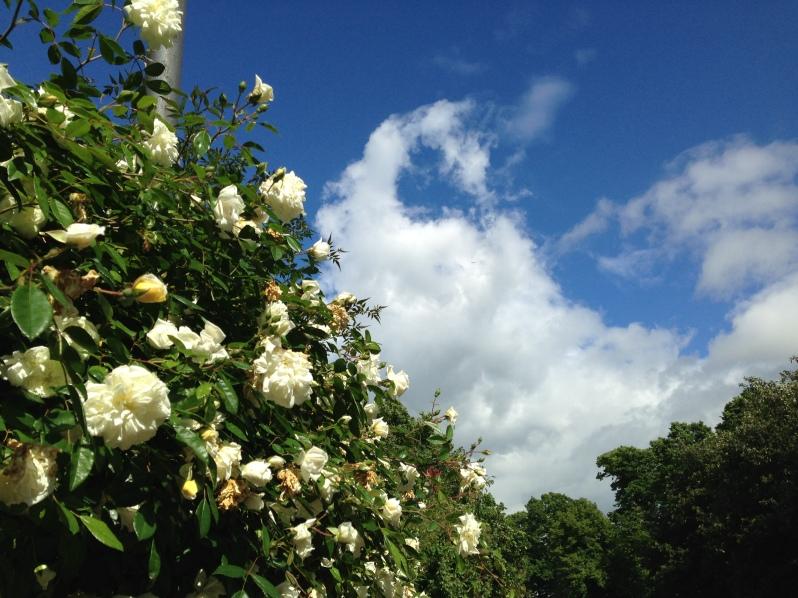 rose blue sky