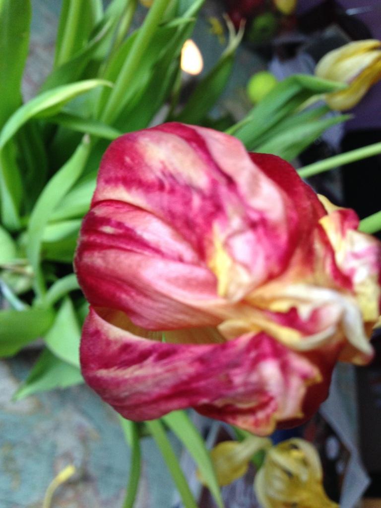 fading tulip