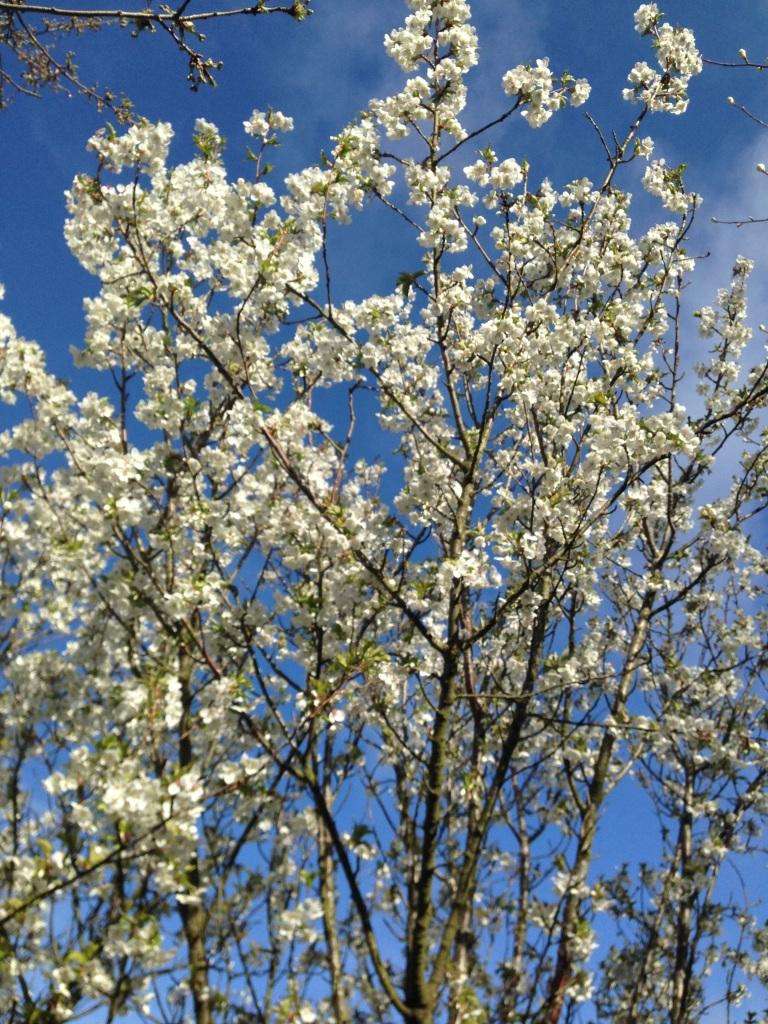 blue sky blossom