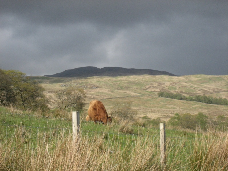 dark sky cow