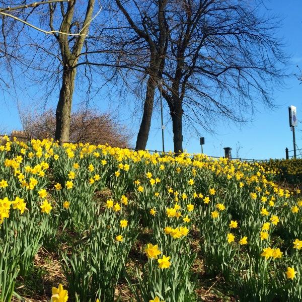 daffodils and sky
