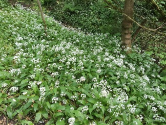 bank of wild garlic growing in woodlands